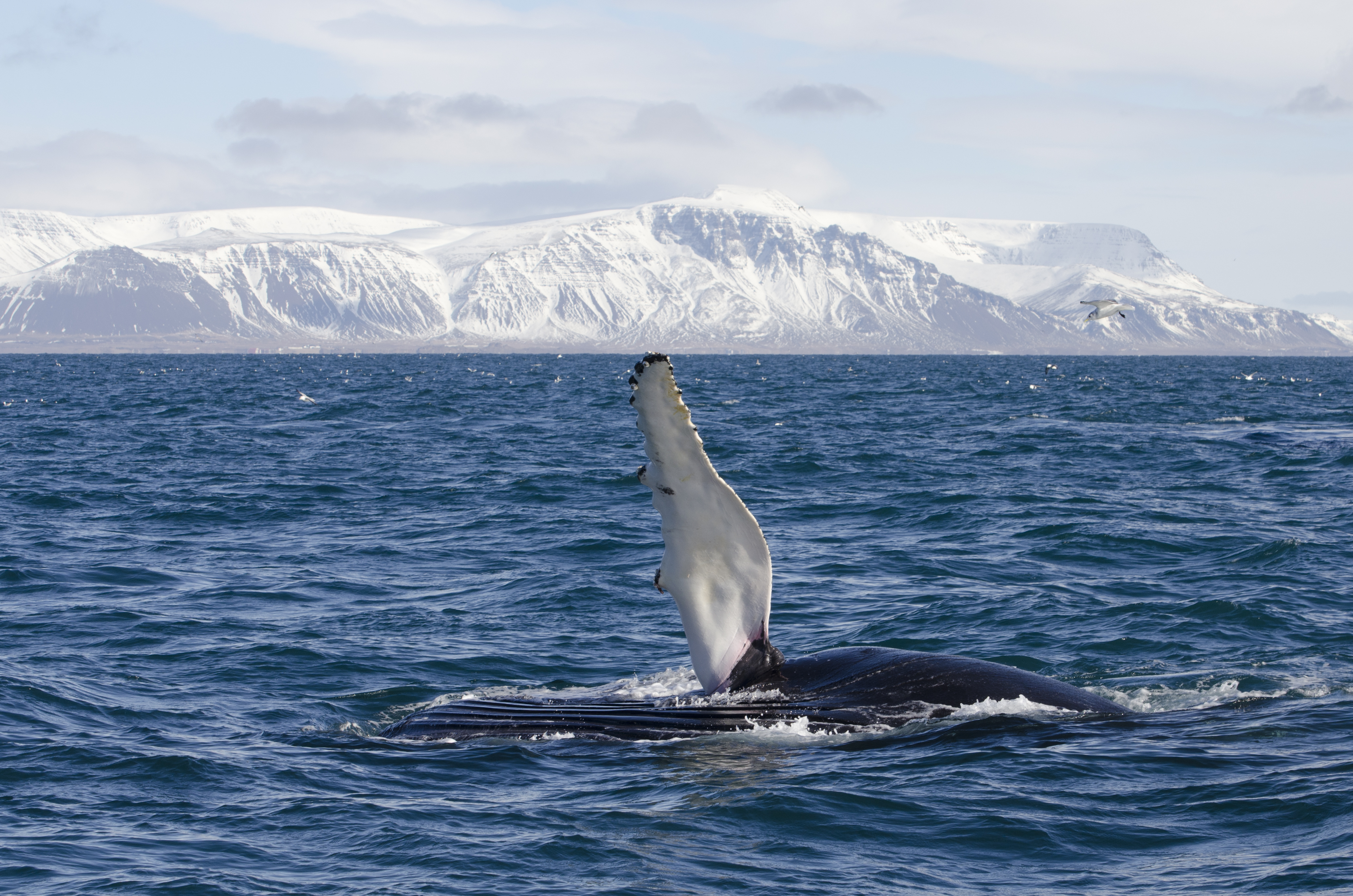Elding Whale Watching from Reykjavik Iceland