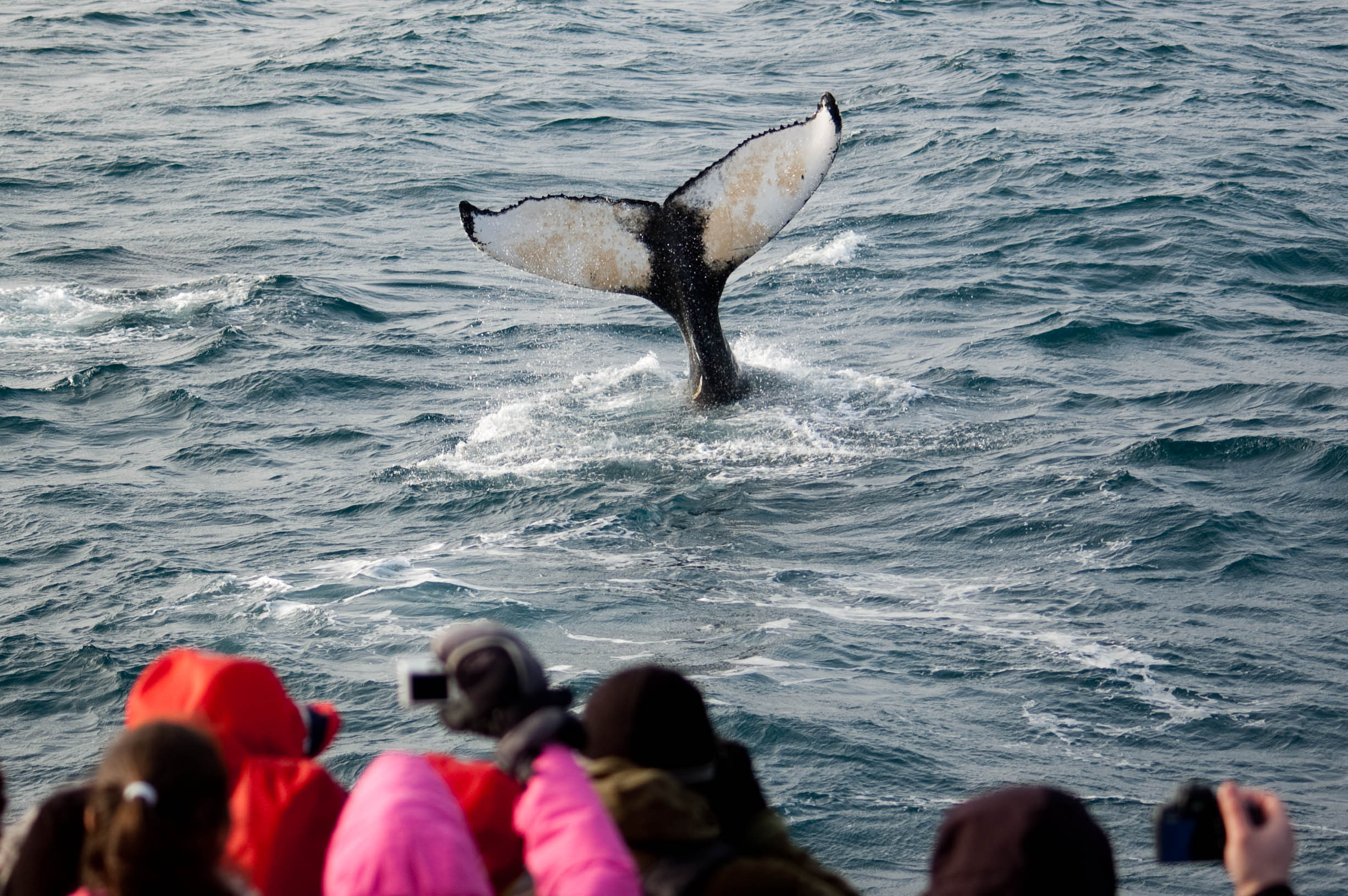 Whale Watching Iceland Humpback Passengers