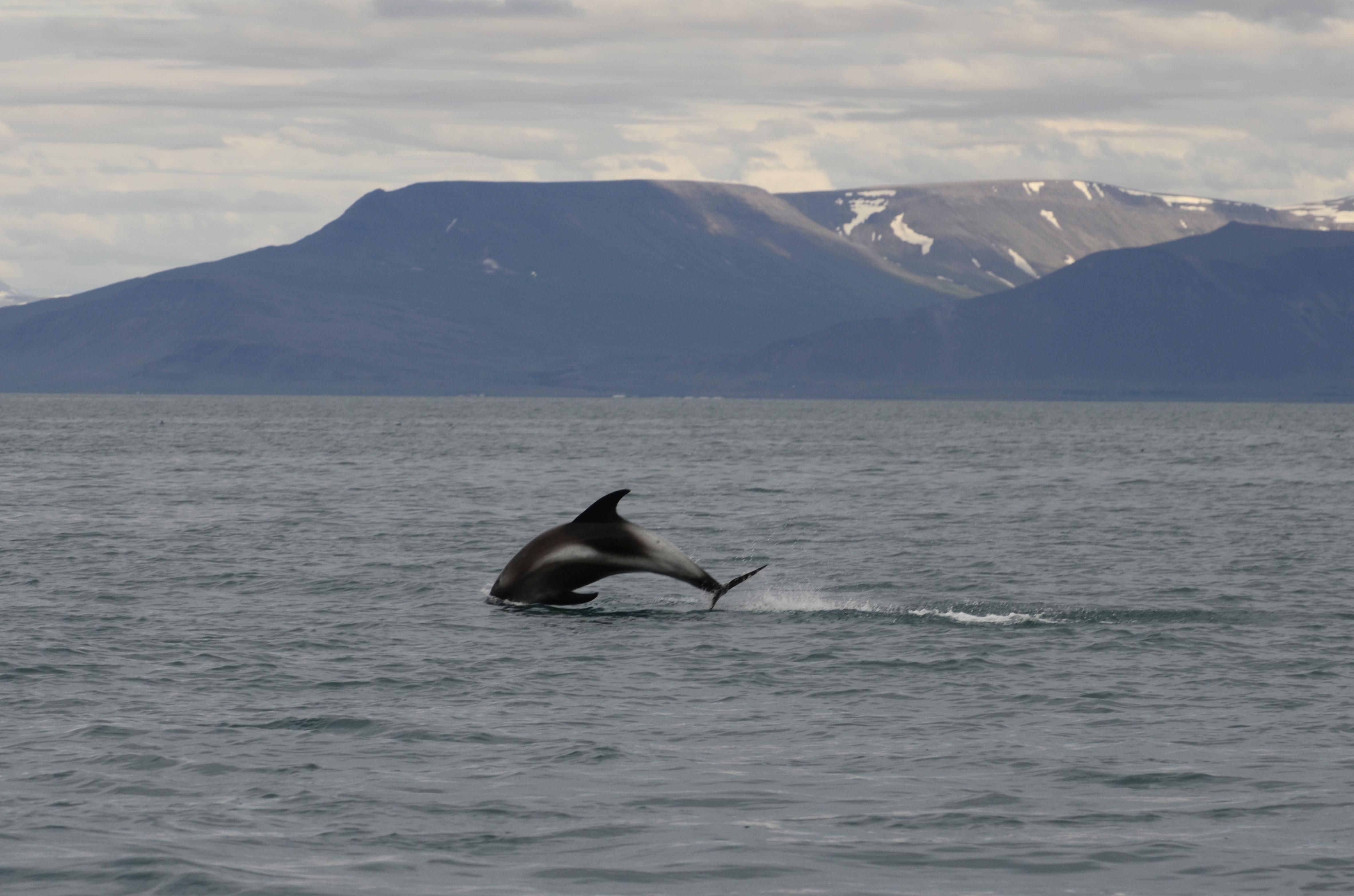2 White-beaked dolphins 5