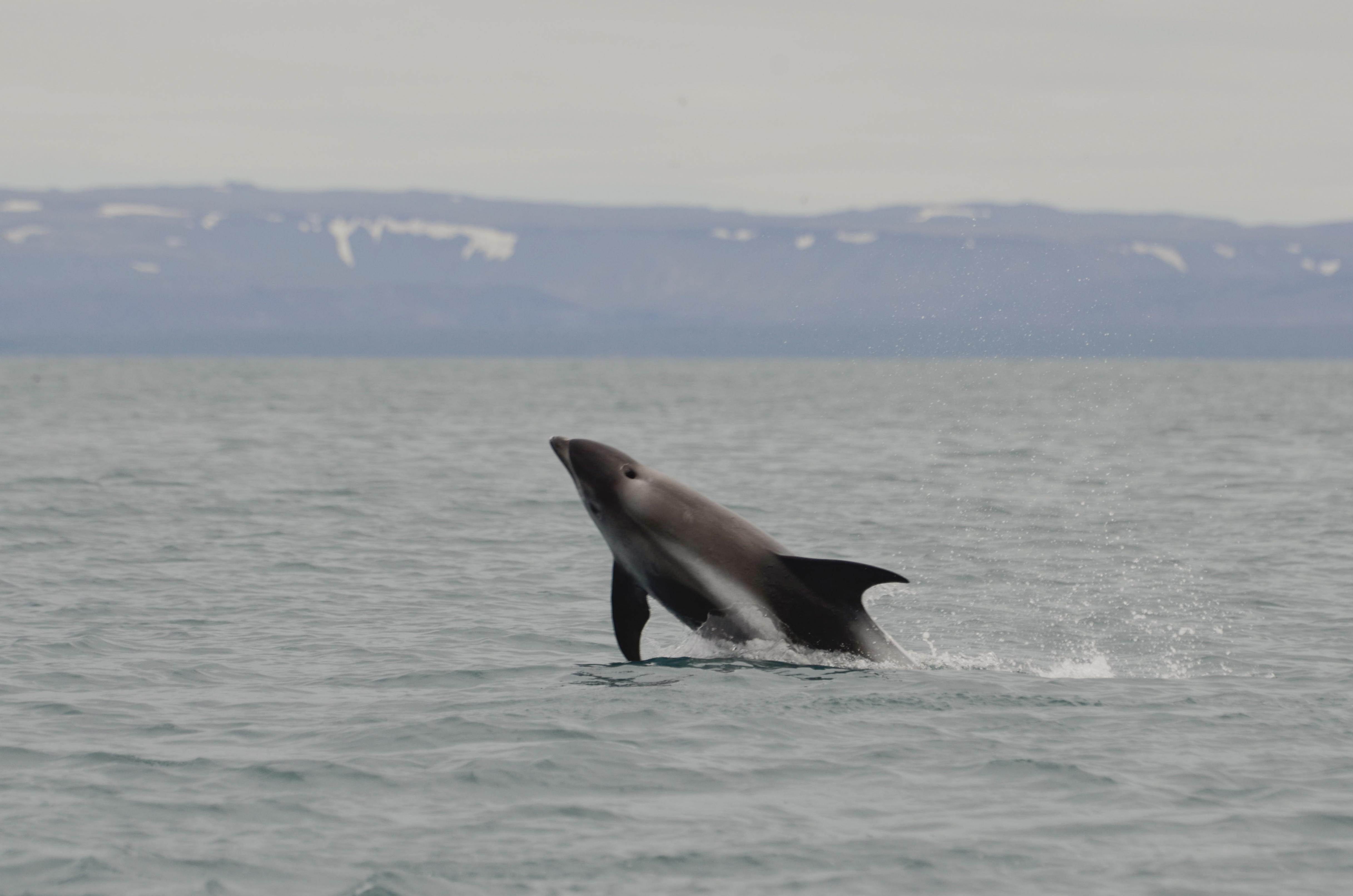 2 White-beaked dolphins 7