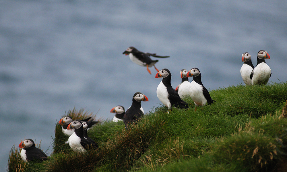 Whale Watching Iceland Puffins